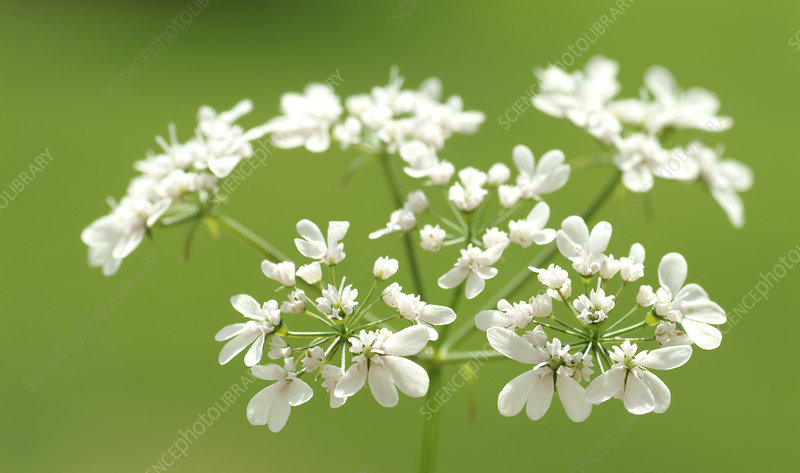 Coriander flowers (Coriandrum sativum)