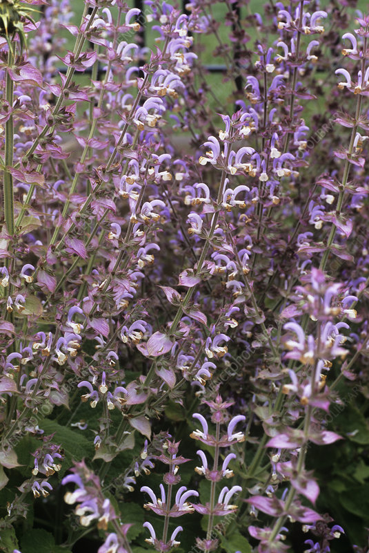White clary sage