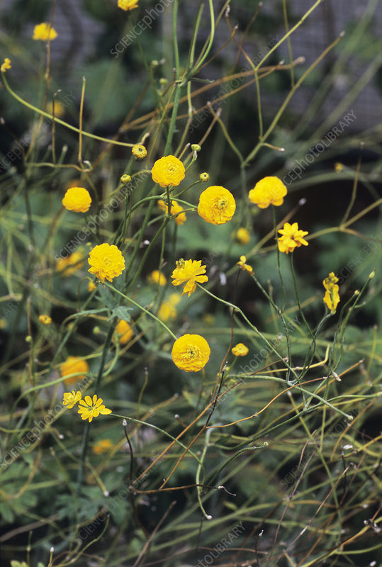 Meadow buttercup 'Multiplex'
