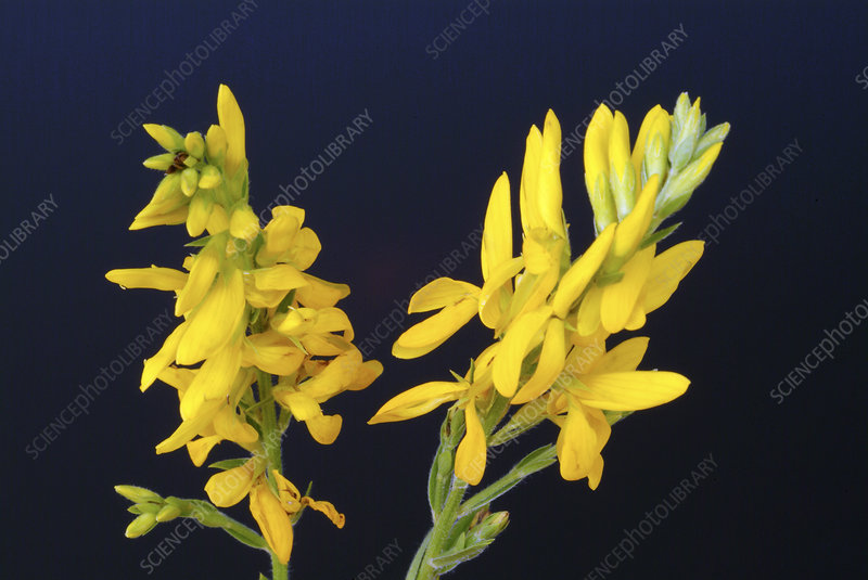 Broom (Genista tinctoria)