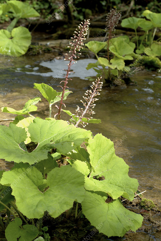 Common butterbur (Petasites hybridus)
