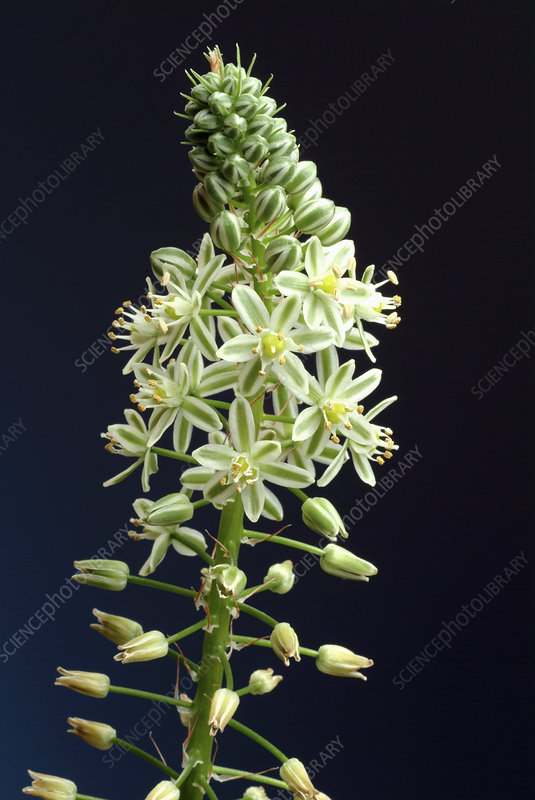 Sea squill (Urginea maritima)
