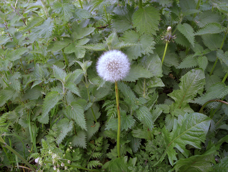 Dandelion and nettles