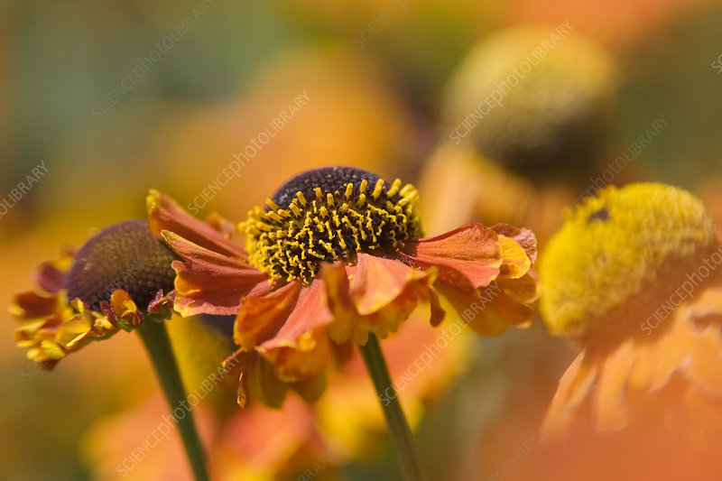Orange coneflower (Echinacea sp.)