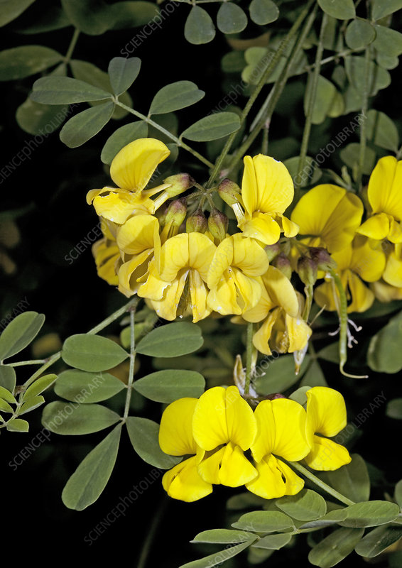 False senna (Coronilla emerus emeroides)