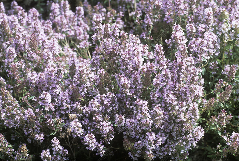 Flowering thyme (Thymus sibthorpii)