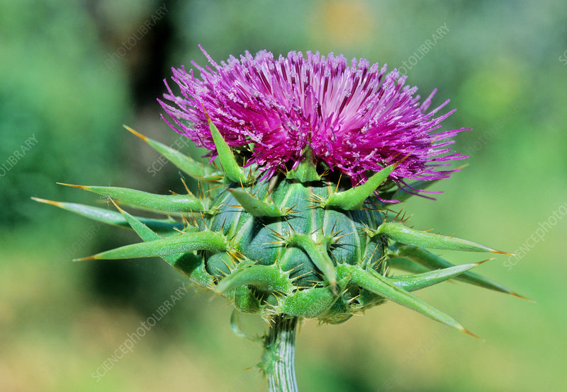 Blessed milk thistle (Silybum marianum)