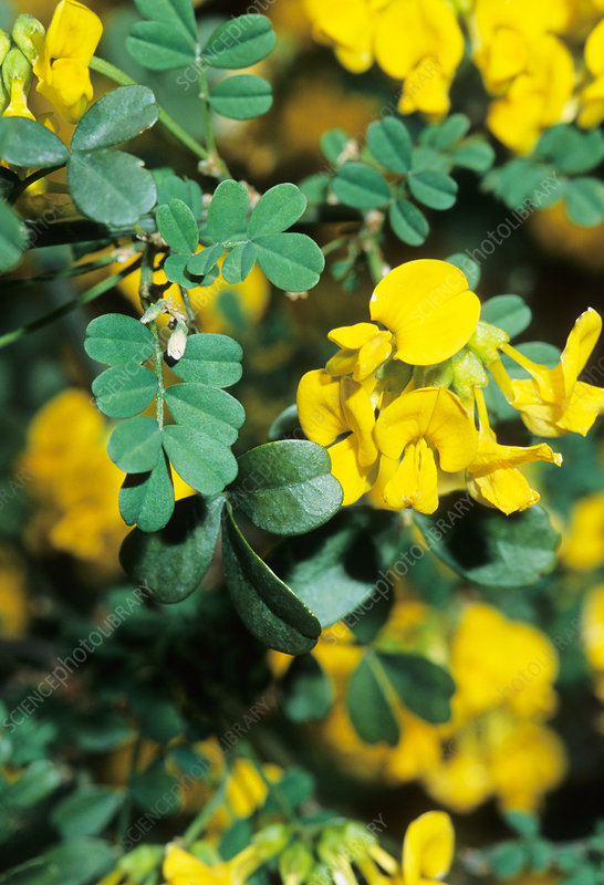 Scorpion senna (Coronilla emerus)
