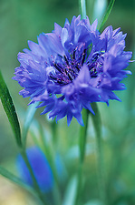 Cornflower (Centaurea 'Blue Ball')