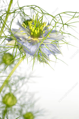 Love in the mist flower (Nigella sp.)