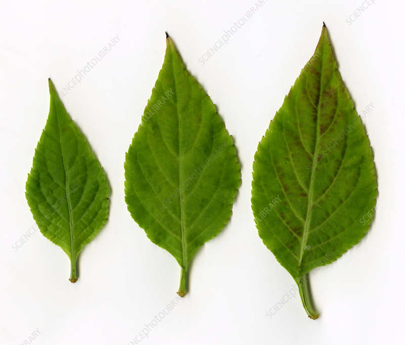 Leaves of Diviner's Sage (Salvia divinorum)
