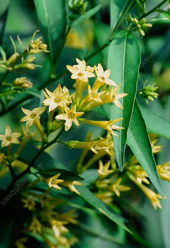 Willow-leaved jessamine (Cestrum parqui)