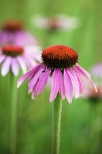 Purple coneflowers (Echinacea sp.)