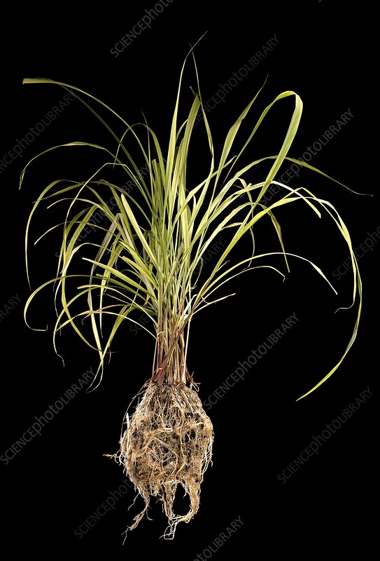 Lemon grass (Cymbopogon sp.)