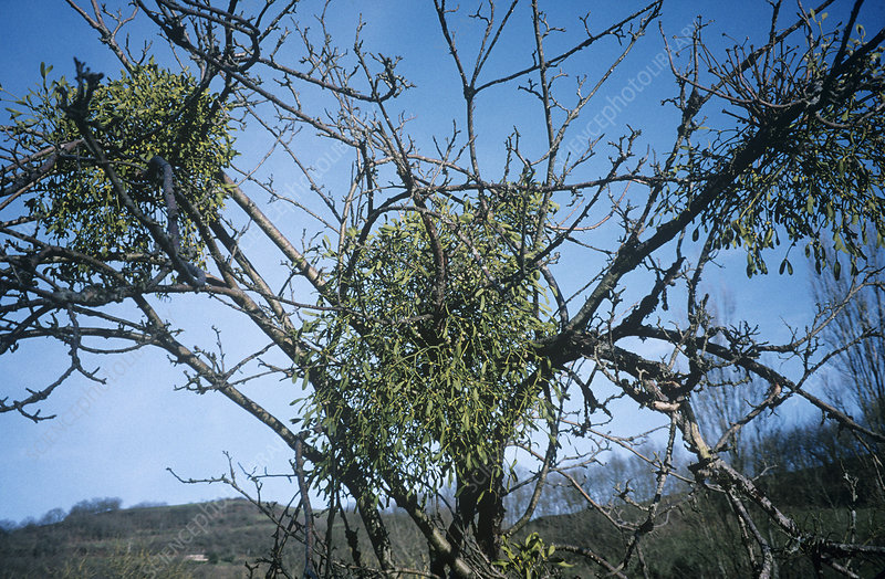 Mistletoe on a tree