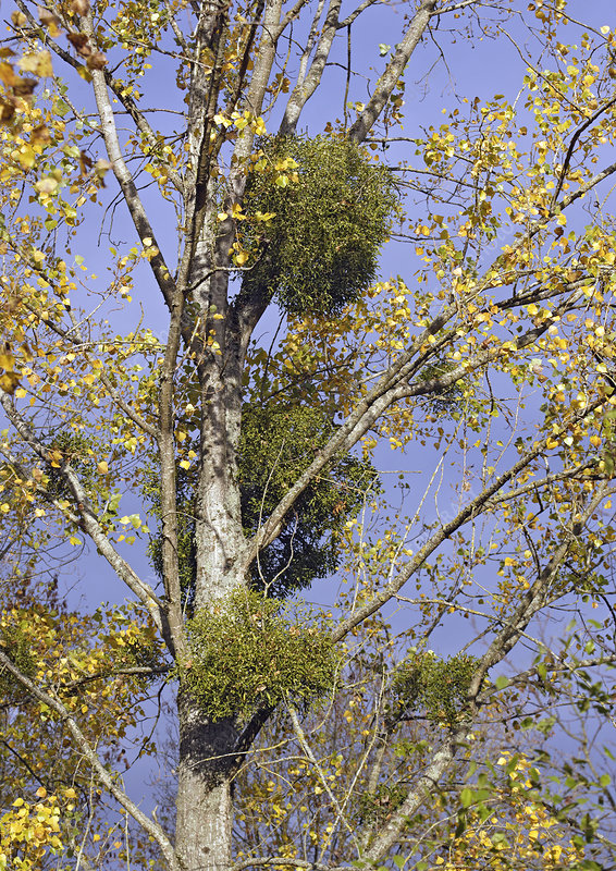 Mistletoe plants in a tree