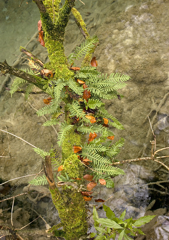 Common polypody (Polypodium vulgare)