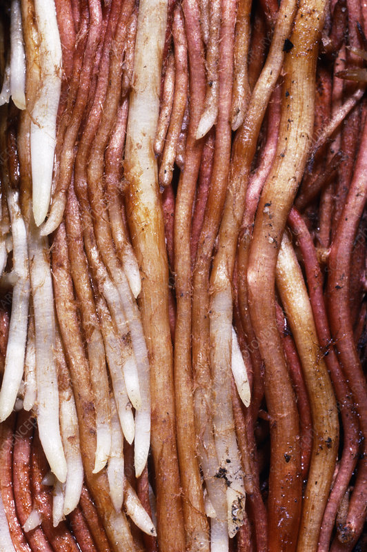 Macrophotograph of roots & root tips