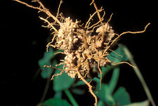 Nitrogen-Fixing Nodules on Pea Roots