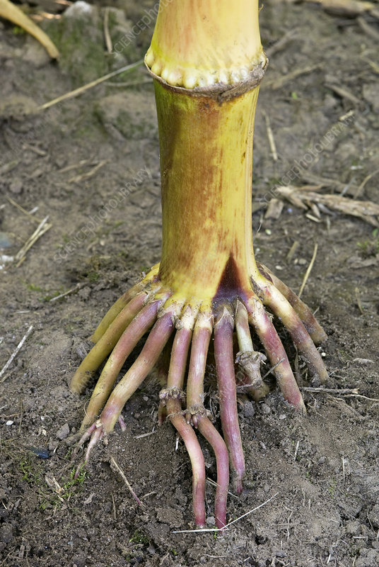 Corn adventitious roots