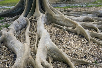 Fairchild's fig roots (Ficus subcordata)