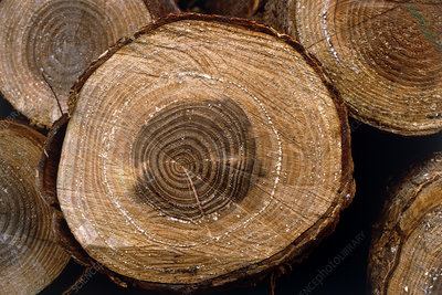 Growth rings on pine trunk