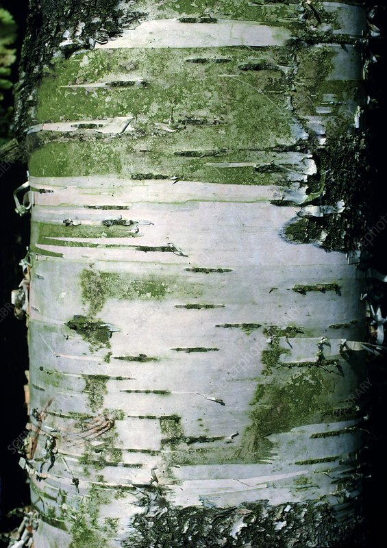 White bark of the silver birch tree