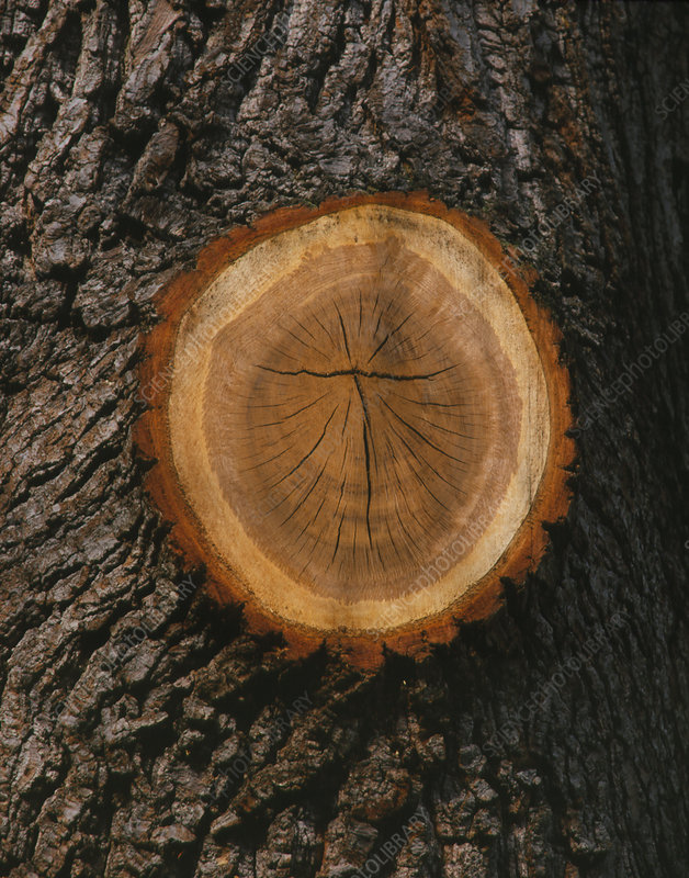 Tree trunk with sawn-off branch