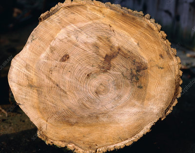 Section through trunk of elm tree