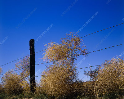 Tumbleweeds caught on a fence