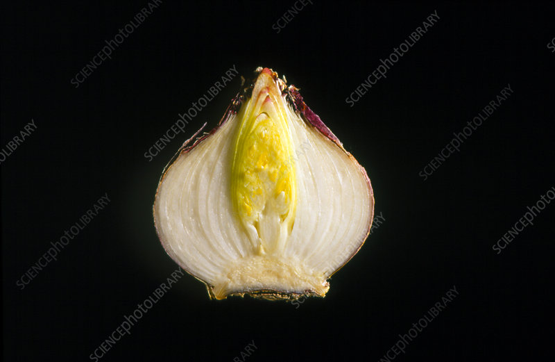 Cross-section of a hyacinth bulb.