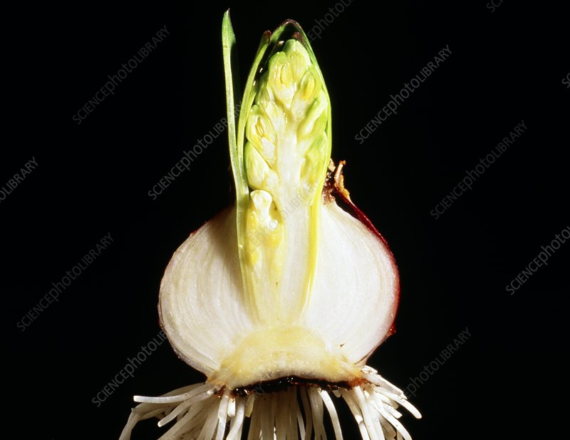 Section through sprouting hyacinth bulb
