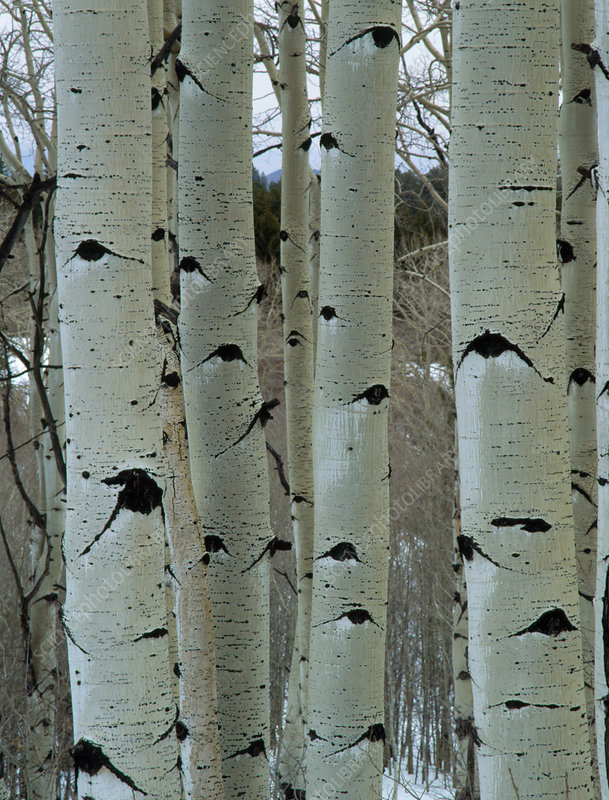Trunks of White Poplar trees in forest