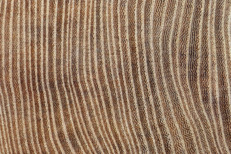 Tree rings in wych elm