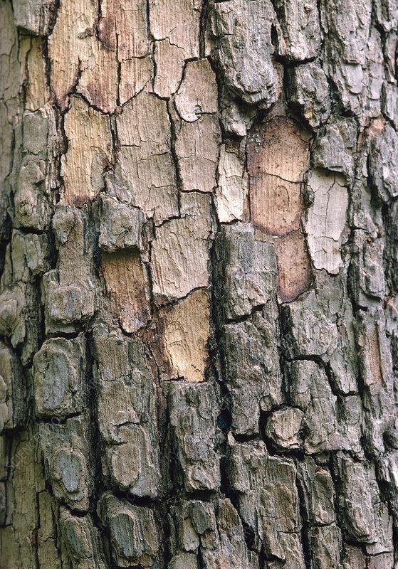 Chinese persimmon bark, Diospyros kaki