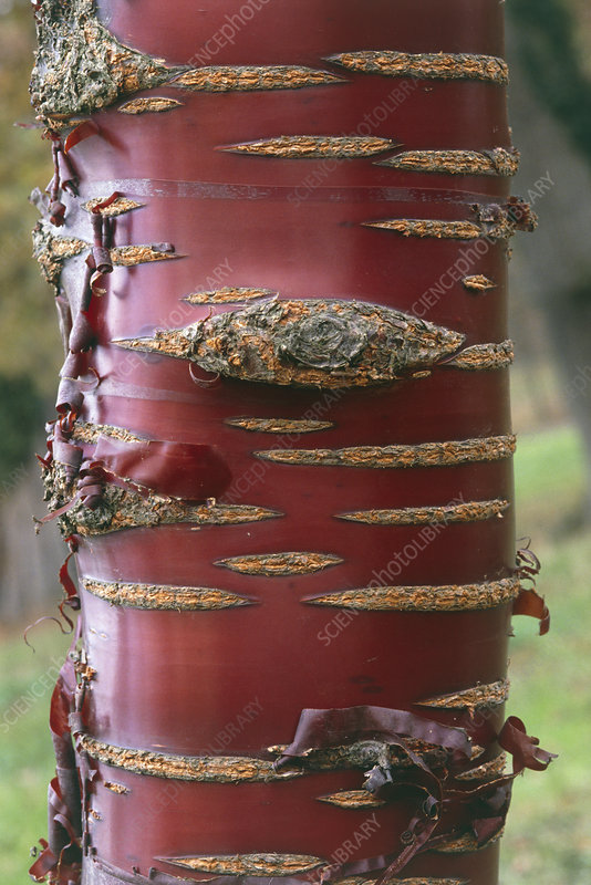 Birch bark cherry, Prunus serrula