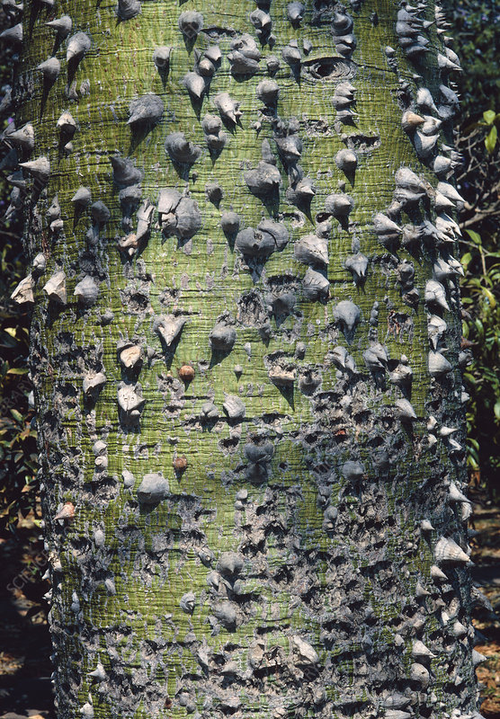Spiny bark of kapok tree, Ceiba