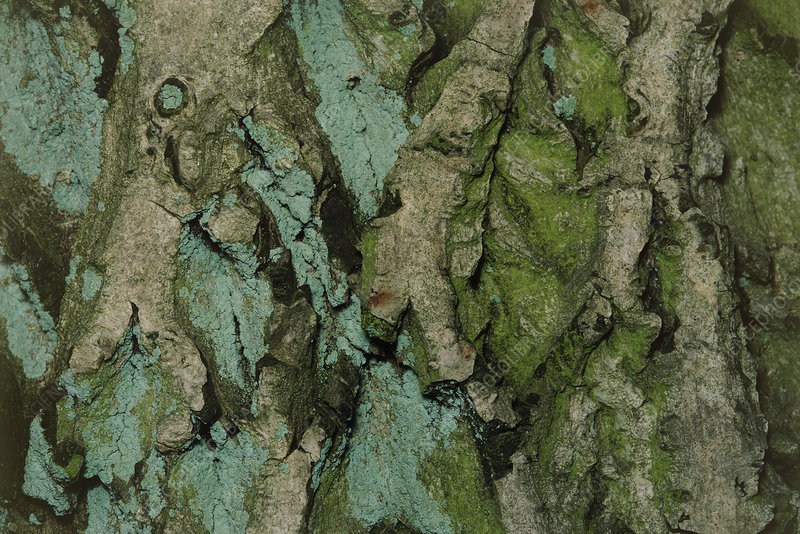 Close-up of walnut bark (Juglans regia)