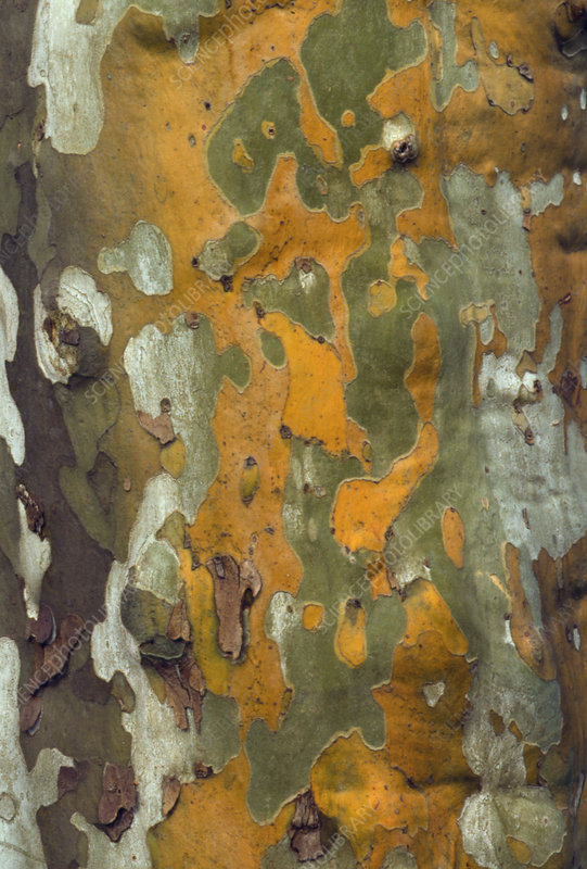 Plane tree bark, Platanus