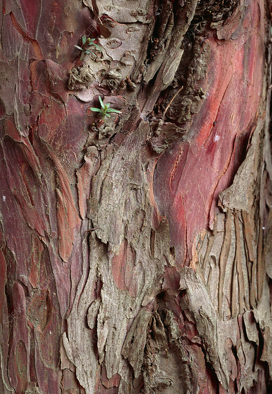 Yew tree bark