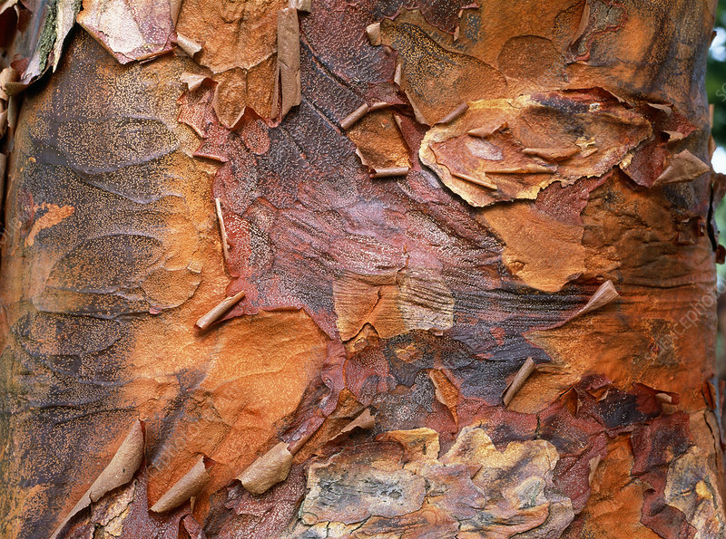 Paperbark maple trunk