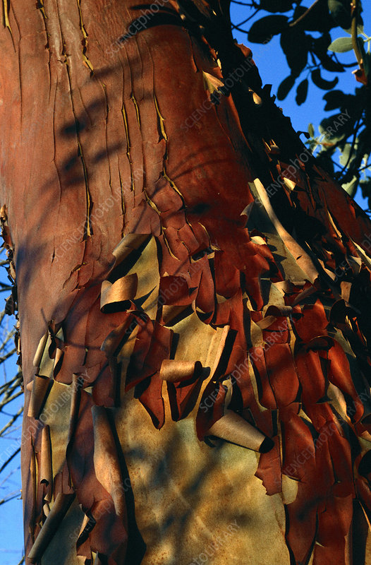 Madrone tree bark