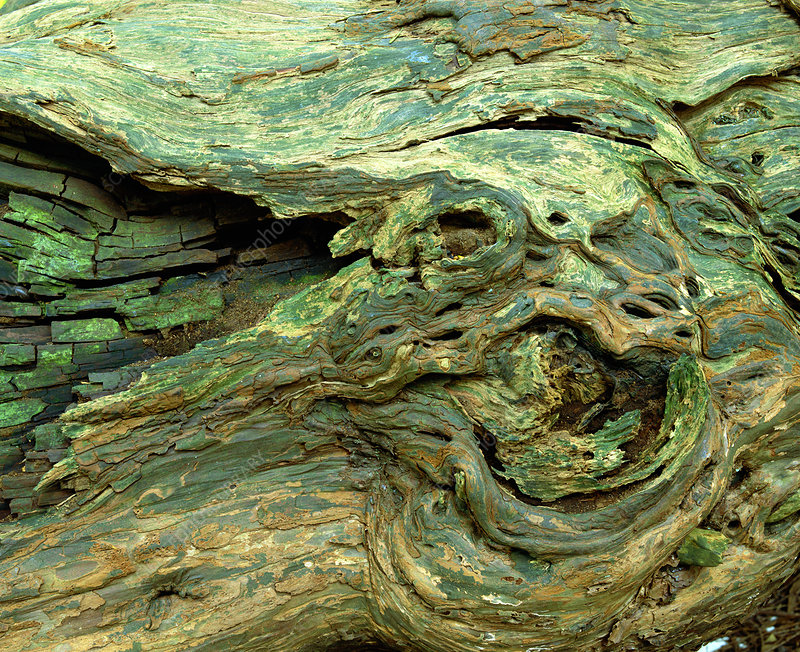 Weathered tree bark