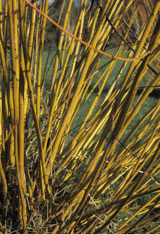 Red willow stems