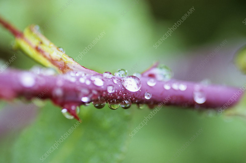 Water drops on a rose stem