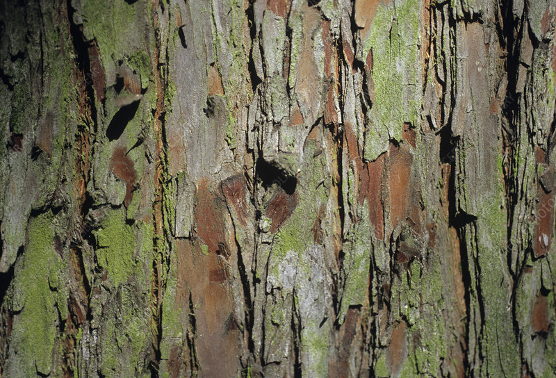 Swamp cypress bark