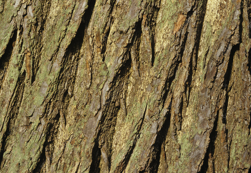 Sweet chestnut bark