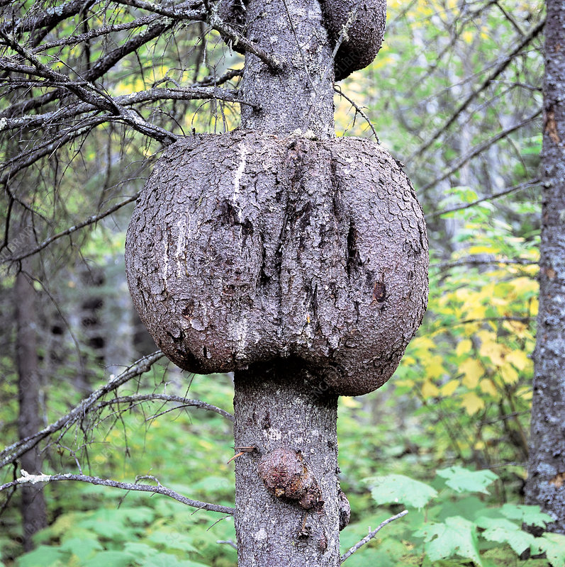 Burl on Black Spruce