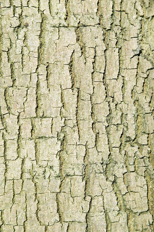 Common lime tree bark