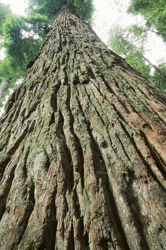 Redwood Tree (Sequoia sempervirens)